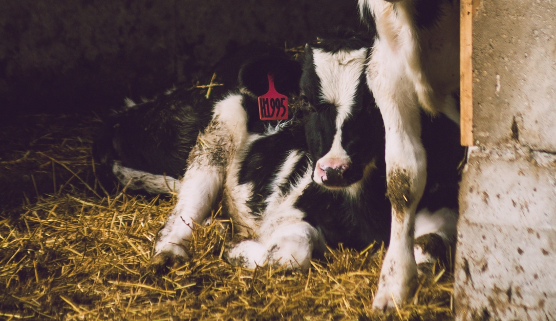 two-white-and-black-cows-inside-shed-436796